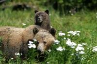 Female Grizzly Bear with Cub in Knight Inlet, British Columbia