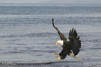 Fishing Bald Eagle Pictures Of Birds