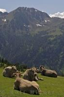 A group of cows at Bonaigua Pass have a stunning view of the Catalan Pyrenees in Catalonia, Spain.