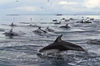 Pictures of Dolphins, Pacific White Sided Dolphins of Northern Vancouver Island in British Columbia, Canada