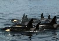 Pictures of Killer Whales on a whale watching trip in Johnstone Strait
