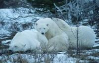 Pictures Of Polar Bears