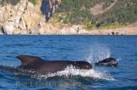 Two Long Finned Pilot Whales, proper name Globicephala melas, are seen swimming alongside each other during a whale watching excursion from Pleasant Bay in the Gulf of St Lawrence, Cape Breton, Nova Scotia, Canada.