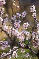 A branch on an Almond Tree is filled with pink flowers creating a beautiful picture in the early Spring in the foothills of the Sierra Nevada in Andalusia, Spain.