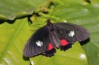 Adult Pink Cattleheart butterflies have a wing span of approximately 2 to 3 inches.
