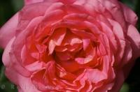 You can see every petal in this close up picture of a pink rose in Valencia, Spain in Europe.
