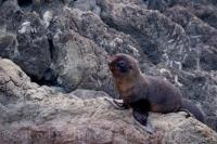 A species of Pinniped belonging to the Otariidae family, the New Zealand Fur Seal is a marine mammal commonly seen along the coasts of both the North and South Island's of New Zealand.