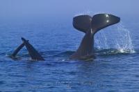 Picture showing a male orca whale, aka Killer whale, playing with another whale and tail lopping.