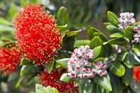 Pohutukawa Tree Flowering Picture