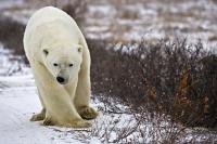 Large Polar Bear Picture