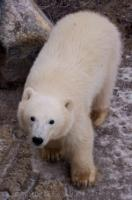 By 11 months old, this cute little polar bear seen near the shores of Hudson Bay, makes a large baby.