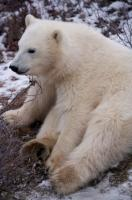 Polar Bear Baby Resting Churchill Manitoba
