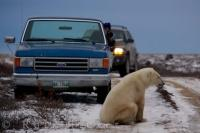A Polar Bear creates a barricade across the road near the Hudson Bay in Churchill, Manitoba giving visitors a chance to capture some pictures.