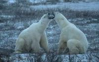 Churchill in Manitoba is one of the best spots to shot Polar Bear Pictures