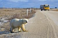 Polar Bear Crossing Churchill Manitoba