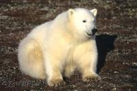 Standing out against the brown arctic tundra this polar bear cub takes a rest.