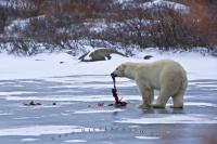 A Polar Bear upon a frozen lake along the shores of the Hudson Bay in Churchill, Manitoba thoroughly enjoying eating his seal.