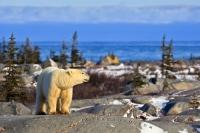 Atop the rocks near the Hudson Bay in Churchill, Manitoba, a Polar Bear sniffs around for any unwanted visitors to his natural environment.