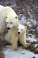 Polar Bear Family Picture Churchill Manitoba