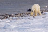 A Polar Bear foraging along the icy fringes of the Hudson Bay coastline in Churchill, Manitoba during the winter season.