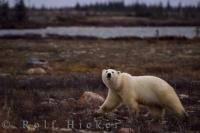 Polar Bear Habitat Churchill Manitoba