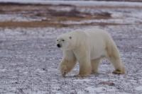 A Polar Bear explores its habitat in the rough and unforgiving tundra in the Churchill Wildlife Management Area in Hudson Bay, Manitoba. Companies offer tours to see Polar Bears in their natural habitat here.