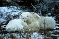 One of the great polar bear images (Ursus maritimus)