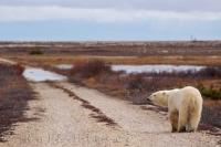 This picture gives one the impression that this Polar Bear is on a long journey down a dirt road in Churchill, Manitoba.