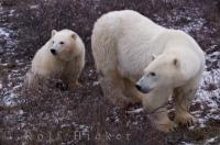 Polar Bear Mother Cub Family Churchill Manitoba