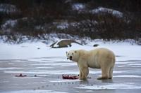 A meal of Ringed Seals is just what this Polar Bear ordered as he eats it on a frozen lake near the shores of the Hudson Bay in Churchill, Manitoba.