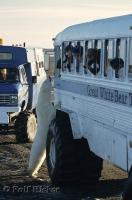 Polar Bear tours in Churchill, Manitoba give visitors a close up look at these fascinating animals.