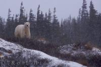 Polar Bear Weather Hudson Bay Churchill Manitoba