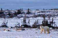 The arrival of winter has begun as an adult Polar Bear checks out the noise above as he walks across the tundra near the Hudson Bay in Churchill, Manitoba.