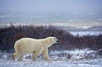 A Polar Bear walking across the frozen tundra during the winter in Churchill, Manitoba as snow falls across the region.