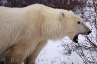 Polar Bear Yawn Churchill Manitoba