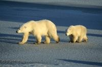 The frigid cold temperatures of the arctic tundra is the preferred habitat of Polar Bears.