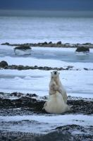 Two polar bears spend the day play fighting in their natural habitat in Churchill, Manitoba in Canada.