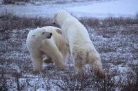 Two sub adult polar bears engage in a friendly sparring bear fight on the tundra in Churchill, Manitoba, Canada.