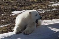 A young polar bear rests while posing for pictures on a mound of ice in the Churchill area of Manitoba, Canada.