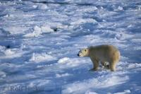A polar bear treks over the uneven ice on the tundra of Churchill, Manitoba, Canada.
