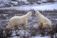 Two Polar Bears engage in a round of sparring in the icy landscape of Churchill in Manitoba, Canada.