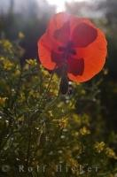 Poppy Flower Petals Wildflowers Daylight Hours