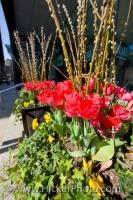 Potted Tulips Downtown Toronto Ontario Canada