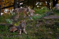 Prairie Wolves Animal Photo