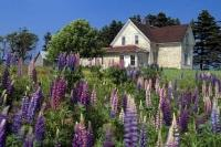 Lupin Field Old House Prince Edward Island