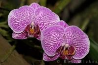 Purple Orchids Victoria