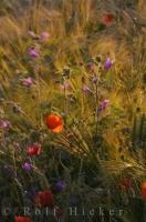 Pyrenees Wildflowers Picture Huesca Aragon