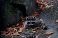 Fall leaves surround a cute raccoon, a commonly seen animal at Parc Omega in Montebello in Outaouais, Quebec, Canada.