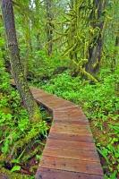 In the coastal rain forests on the West Coast of Vancouver Island, there have been structures like this boardwalk in the rain forest of Maquinna Marine Provincial Park built so that a trail can be followed easily through.