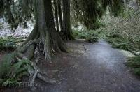 A picture showing a path meandering through a rain forest, fringed by ferns in the Olympic National Park of Washington, USA.